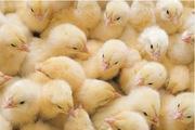 Суточные курчата из Польши (Львов и Тернополь)