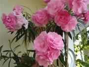 Олеандр саджанці,  рожеві та білі махрові.