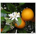 Апельсин,  мандарин плодоносящий,  комнатный,  плоды вкусные сладкие